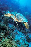loggerhead sea turtle, Caretta caretta, Bonaire, Netherland Antilles, Caribbean, Atlantic