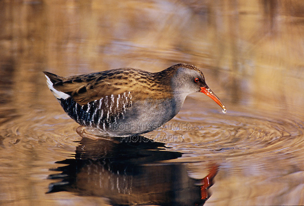 Water Rail, Rallus aquaticus, adult feeding in water, Klingnau, Switzerland, Dezember 1998
