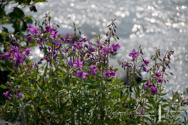 Fireweed and glacier ice