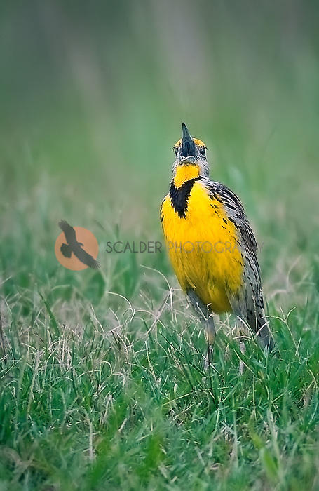 Meadowlark sitting on the ground with beak open, singing
