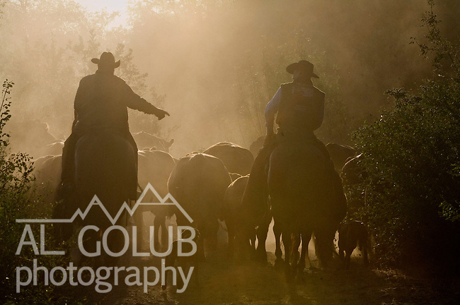 Buck Meadows, California May 31, 2007 ..Erickson Cattle Company drive cattle down Forest Service Road to Lumsden Bridge to cross the Tuolumne River... Photo by AL GOLUB/Golub Photography.