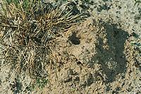 Weiden-Sandbiene, Nest, Auen-Sandbiene, Auensandbiene, Weidensandbiene, Sandbiene, Sandbienen, Andrena vaga, Andrena ovina, Grey-Backed Mining-Bee