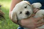 Yellow Labrador retriever (AKC) puppies resting
