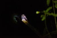 Africa, Madagascar, Andasibe. VOIMMA reserve. Collared nightjar (Gactornis enarratus) endemic to Madagascar.