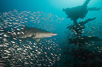TP0611-D. Sand Tiger Shark (Carcharias taurus) swims through baitfish above the shipwreck of the Atlas, a 450-foot long oil tanker which sank in 1942 during World War II, torpedoed by a German U boat. Over 2000 ships have sunk off the North Carolina coast as a result of weather and war. This area often referred to as the Graveyard of the Atlantic. Many of the wrecks are aggregation sites for these sharks. North Carolina, USA, Atlantic Ocean.<br /> Photo Copyright &copy; Brandon Cole. All rights reserved worldwide.  www.brandoncole.com