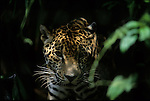 A jaguar in Belize, Central America