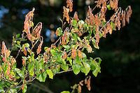 Frostschaden an den jungen Blättern einer Buche, plötzlicher Nachtfrost, Nachtfröste, Frost hat den jungen Blattaustrieb geschädigt, Frostschäden, Pflanzenkrankheiten, Pflanzenkrankheit, frost damage, Rot-Buche, Rotbuche, Buche, Fagus sylvatica, Blätter, Blatt, Common Beech