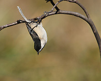 The curious, intelligent Carolina Chickadee looks very much like a Black-capped Chickadee, with a black cap, black bib, gray wings and back, and whitish underside. Carolina and Black-capped chickadees hybridize in the area where their ranges overlap.