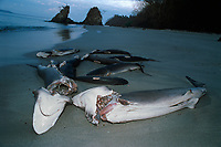 Sharks finned alive and thrown overboard, drown and wash up on beach. Costa Rica - Pacific Ocean