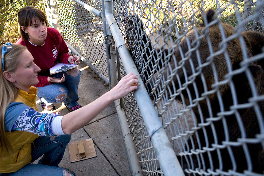 Graduate students in the veterinary program at Washington State University conduct cognitive bias tasks with a grizzly at the Bear Research Center in Pullman, Wash. on Friday, October 15.  ..(Matt Mills McKnight for The Wall Street Journal)