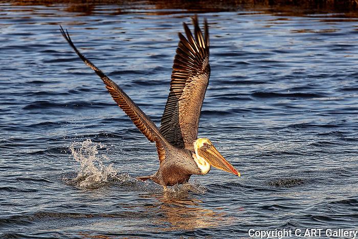 Pelican 2, landing at Bolsa Chica, CA.