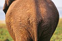 African elephant (Loxodonta africana) bottom.  Matusadona National Park, Zimbabwe.