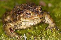 Erdkröte, Erd-Kröte, Kröte, Bufo bufo, European common toad