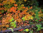 Fall colors on a Vine Maple (Acer cirinatum) and Bracken Ferns (Pteridium aquilinum) <br /> Mt. Rainier National Park, WA