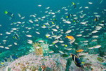 Sea of Cortez, Baja California, Mexico; an aggregation of Scissortail Chromis, Pacific Creolefish, Mexican Hogfish and King Angelfish swimming above the rocky reef