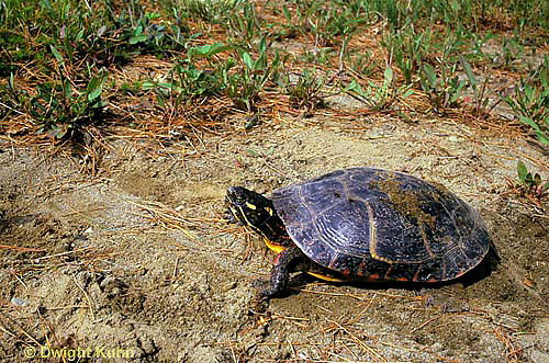 1R13-056z  Painted Turtle - adult female looking for place to dig nest to lay eggs - Chrysemys picta