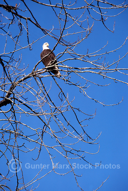 Mature Adult Bald Eagle (Haliaeetus leucocephalus) perched on Tree Branch