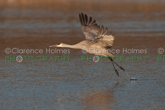Sandhill Crane  (Grus canadensis) takes off into flight from a pool of water in search of food