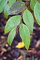 Alder (Alnus pendula), end October.