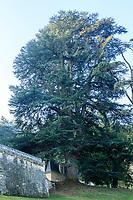 France, Indre-et-Loire (37), Rigny-Ussé, château et jardin d'Ussé en octobre, cèdre du Liban remarquable (Cedrus libani) offert en 1808 à la duchesse de Duras par Chateaubriand
