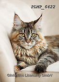 Marek, ANIMALS, REALISTISCHE TIERE, ANIMALES REALISTICOS, cats, photos+++++,PLMP6422,#a#, EVERYDAY