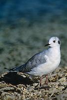 539853001 a wild bonapartes gull larus philadelphia in winter plumage stands along the shoreline of the salton sea national wildlife refuge in california