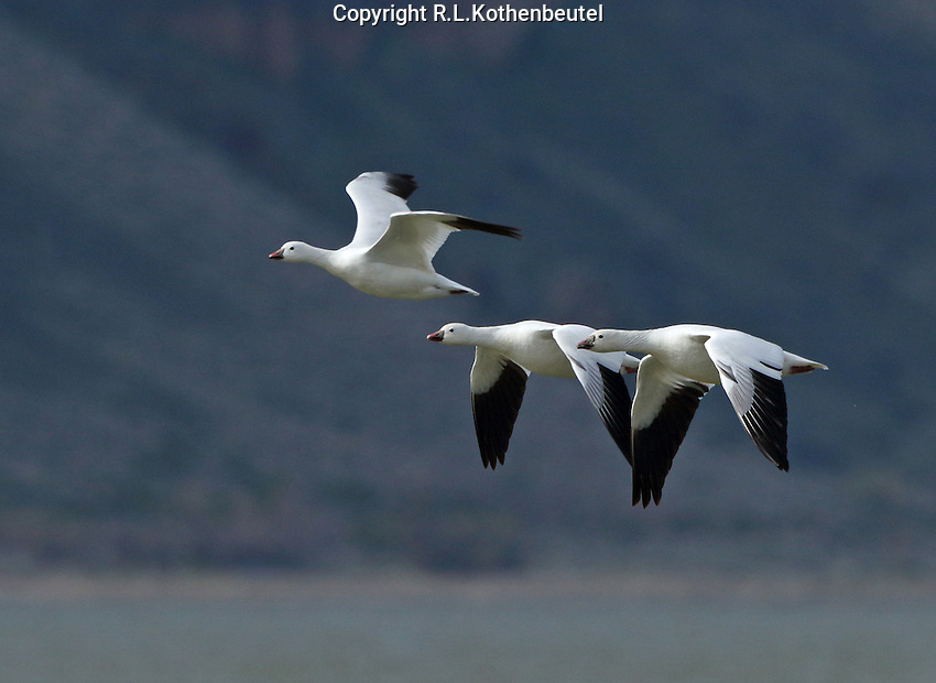 A trio of Ross's geese fly into the sunlight against the backdrop of a shaded hillside. <br /> Tule Lake<br /> Klamathe Basin National Wildlife Refuges, California<br /> 3/30/2015