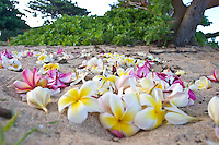 Pink and yellow plumeria scattered on the beach. Naupaka in the background. Low angle view.