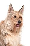 Berger Picard Dog, Head Study, Studio, White Background