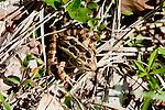Leopard Frog, Adirondacks.