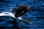 A Pacific bottlenose dolphin jumps out of the Sea of Cortez off the coast of Baja California, Mexico.
