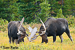 Two bull moose fighting during the rut. Roosevelt National Forest, Colorado.