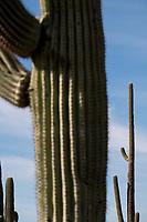 Saguaro cactus stand in the Cactus Forest area of Saguaro National Park (Rincon Mountain District) near Tucson, Arizona, USA.