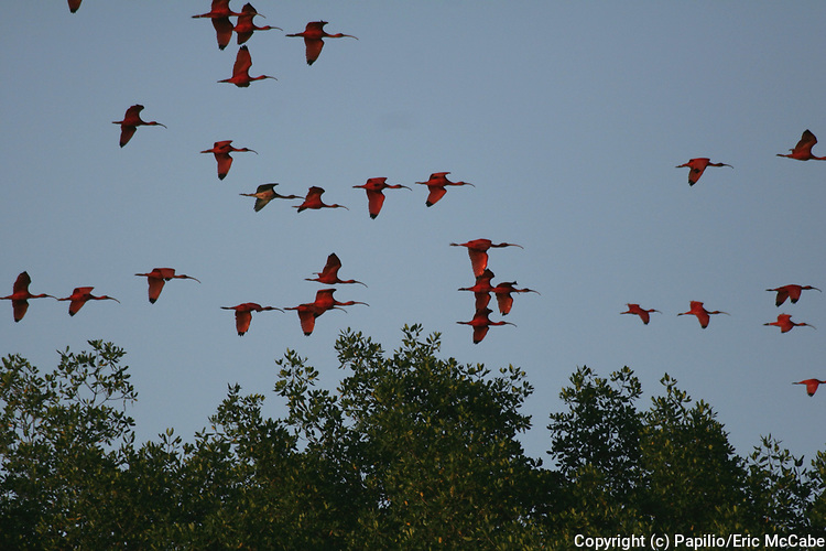 Scarlet Ibis flying to night roost, Eudocimus ruber, Caroni Swamp, Trinidad