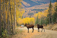 Cow moose and calf cross gravel road in Fairbanks, Alaska.