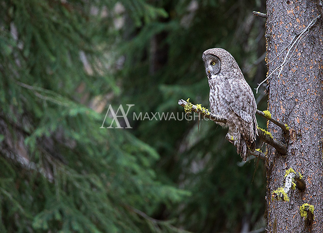 A great gray owl found in nearly the same spot as the light morph great gray I photographed.  This may be the parent of the juvenile.