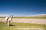 Llama (Lama glama) cria in altiplano, Andes, western Bolivia