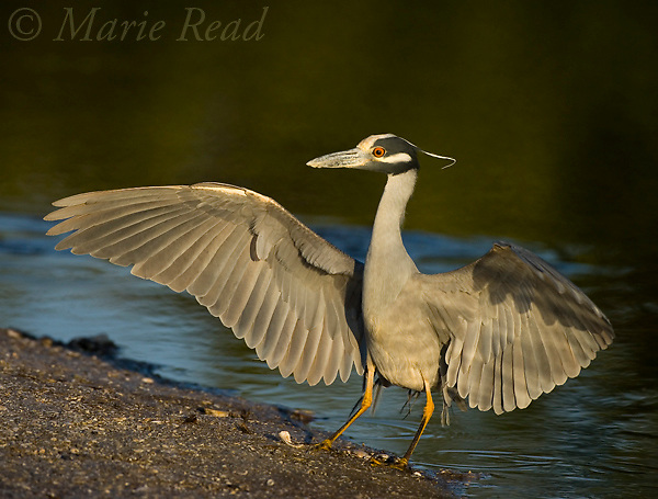 Yellow-crowned Night Heron (Nyctanassa violacea) lands with outspread wings, Ding Darling National Wildlife Refuge, Florida, USA