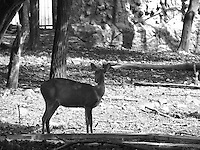 Black and white picture of beautiful deer in national park