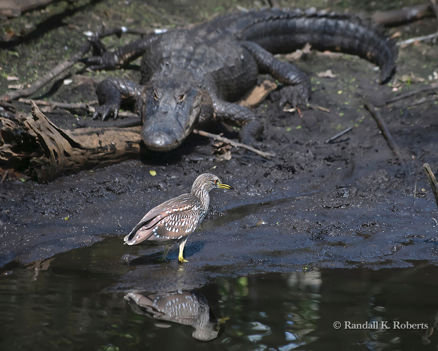 An alligator watches a juvenile Black Crowned Night Heron, Audubon Corkscrew Swamp Sanctuary, Florida