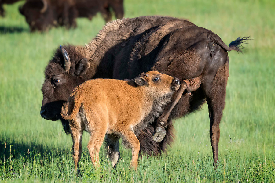 """When mother Bison (Bison bison) isn't in the mood to nurse her month-old calf (there are called """"red dogs"""" or """"cinnamons"""" at this stage), she teaches the calf to leave her alone.  When the calf doesn't heed her, she delivers a swift but harmless kick to the calf's head, Bison-style.  Custer State Park, Black Hills, South Dakota."""