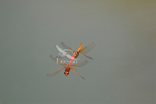 Male Cardinal Meadowhawk (Sympetrum illotum) towing female during mating activities.  Pacific Northwest.  Summer.
