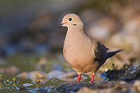 Mourning Dove, Zenaida macroura, adult, Lake Corpus Christi, Texas, USA, May 2003