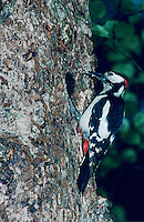 Great Spotted Woodpecker,  Dendrocopos major, male, Zug, Switzerland, June 1995