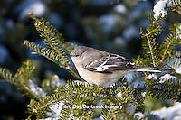 01395-02805 Northern Mockingbird (Mimus polyglottos) in Balsam fir tree in winter, Marion Co., IL