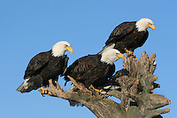 Bald Eagles (Haliaeetus leucocephalus) watch the seashore intently.  Kenai Peninsula, Alaska