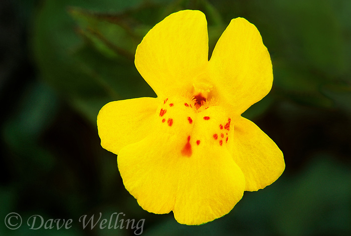 156010002 a wild common monkeyflower mimulus guttatus displays a showy very large bright yellow flower along a seep in red rock canyon in the high desert north of los angeles in california