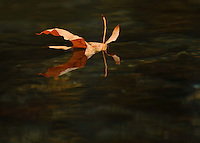 Autumn leaf on the Stillaguamish River, Washington.