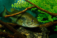 Largemouth bass, Micropterus salmoides (c)