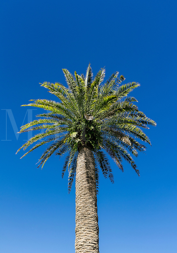 Healthy lone palm tree.
